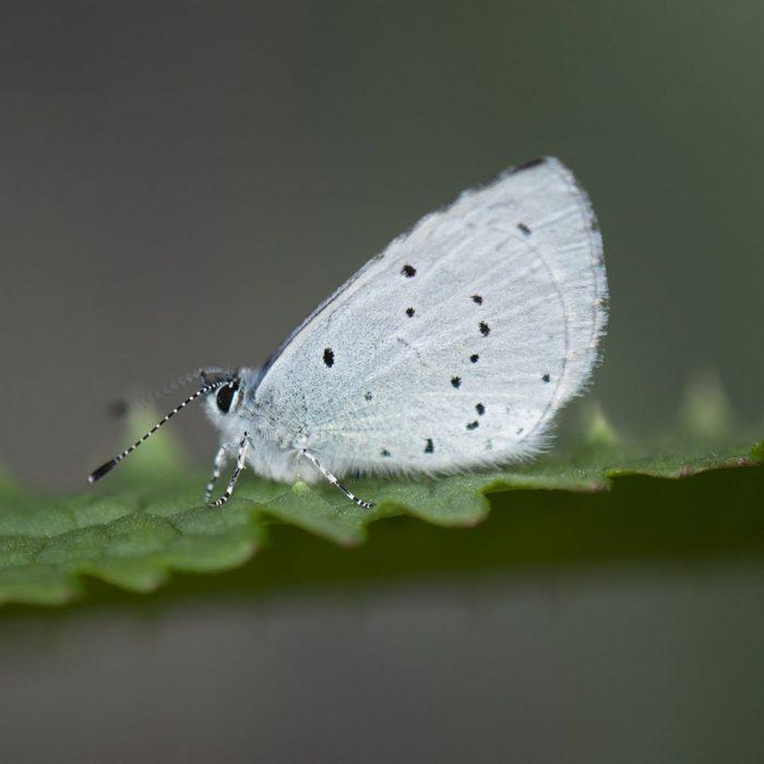 Faulbaum-Bläuling (Celastrina argiolus) auf Blatt