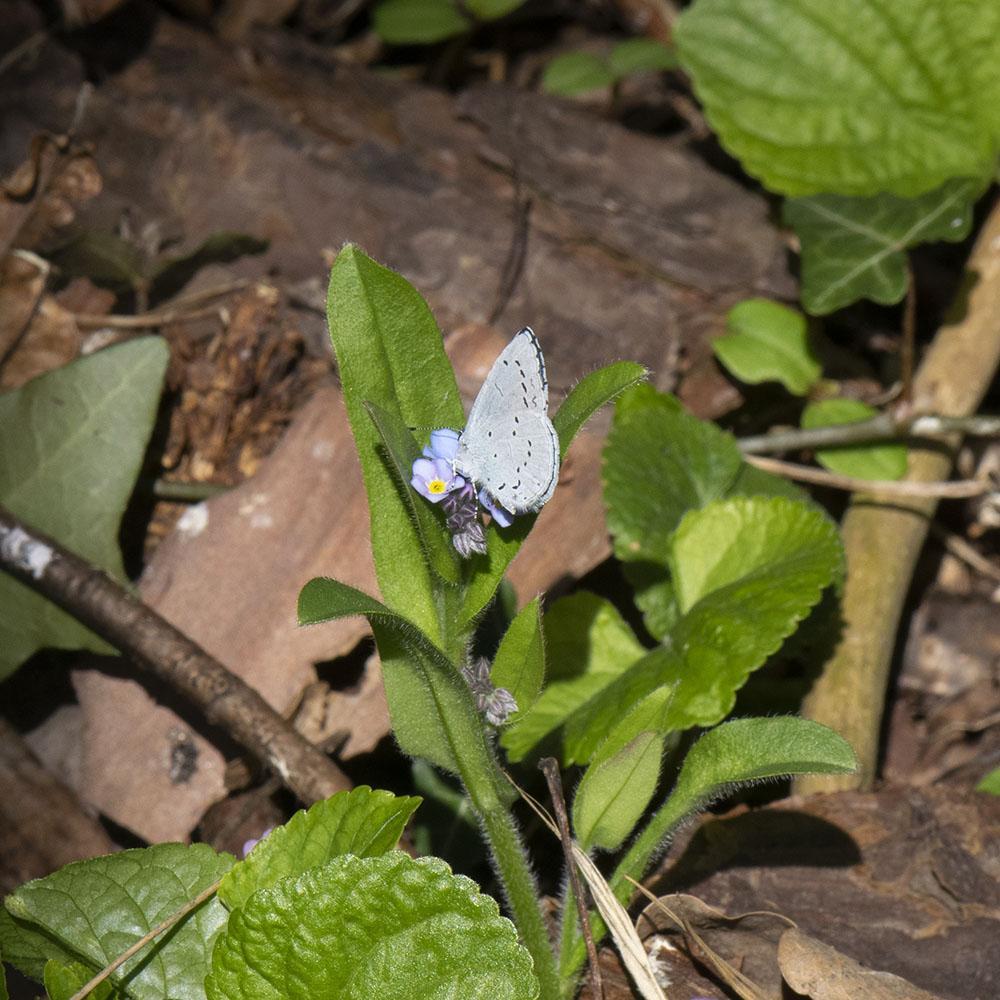 Faulbaum-Bläuling (Celastrina argiolus) auf Vergissmeinnicht