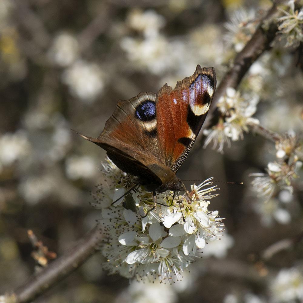 Tagpfauenauge (Aglais io) auf Schlehe