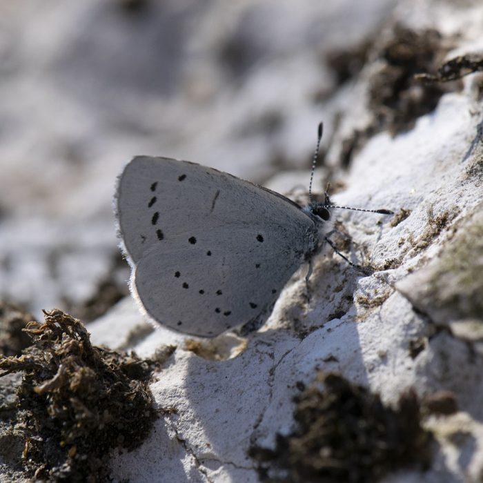 Faulbaum-Bläuling (Celastrina argiolus) auf Stein