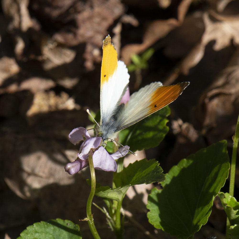 Aurorafalter (Anthocharis cardamines) auf Veilchen