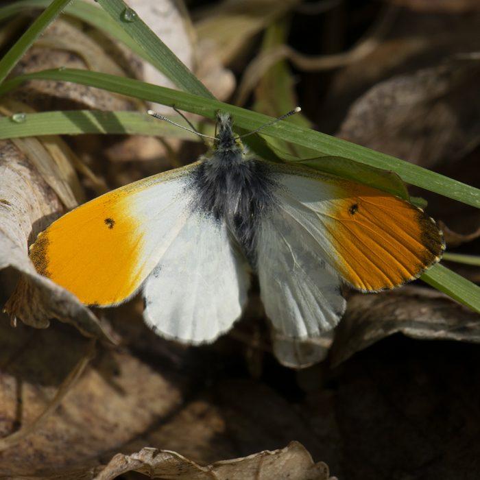 Aurorafalter (Anthocharis cardamines) auf Wiese