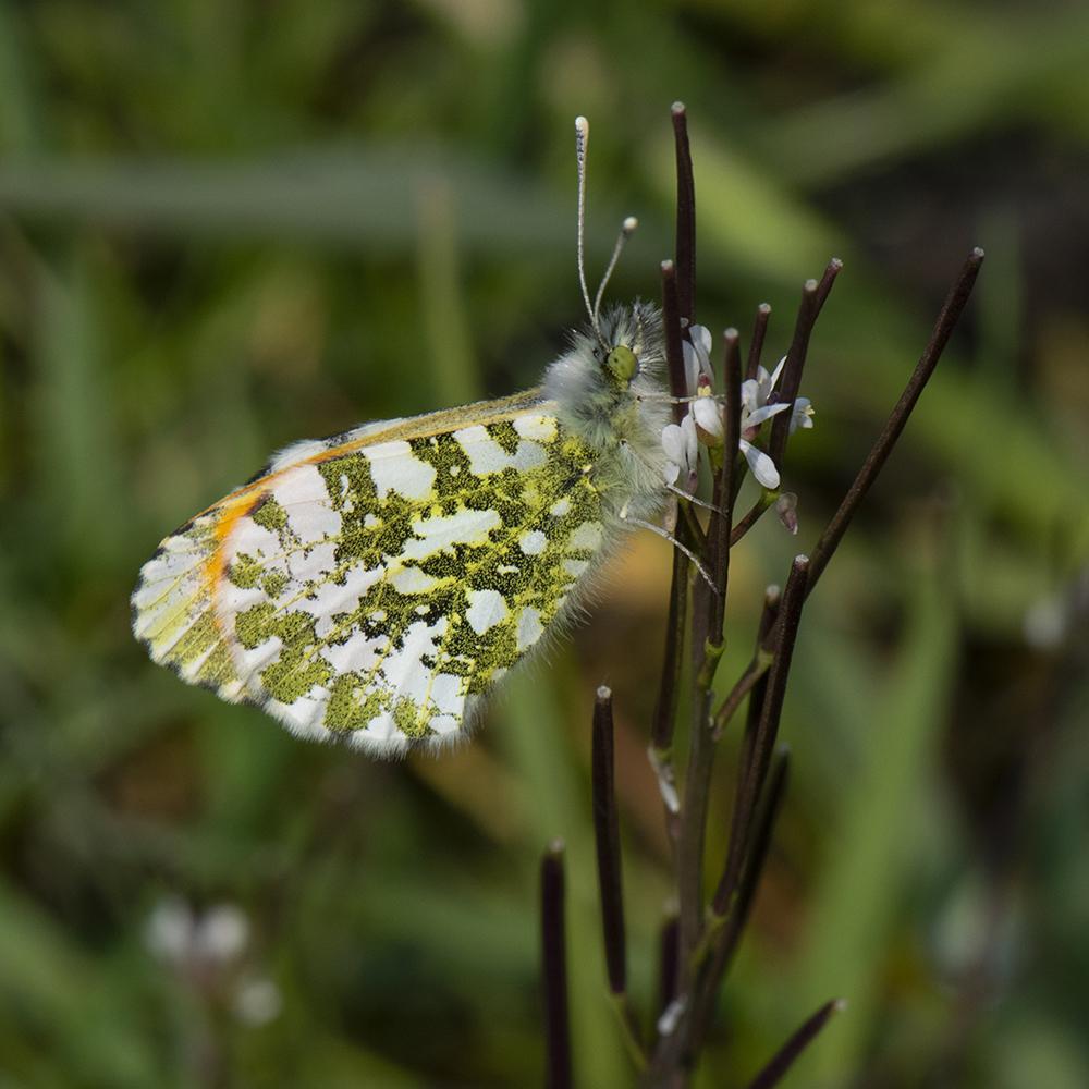 Aurorafalter (Anthocharis cardamines) auf Waldschaumkraut