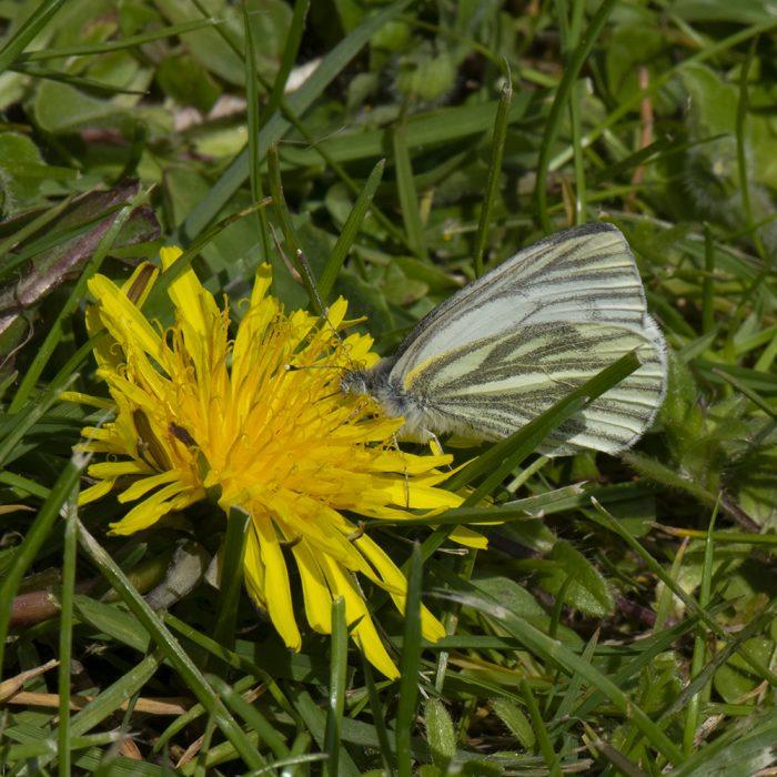 Grünader-Weißling (Pieris napi) auf Löwenzahn