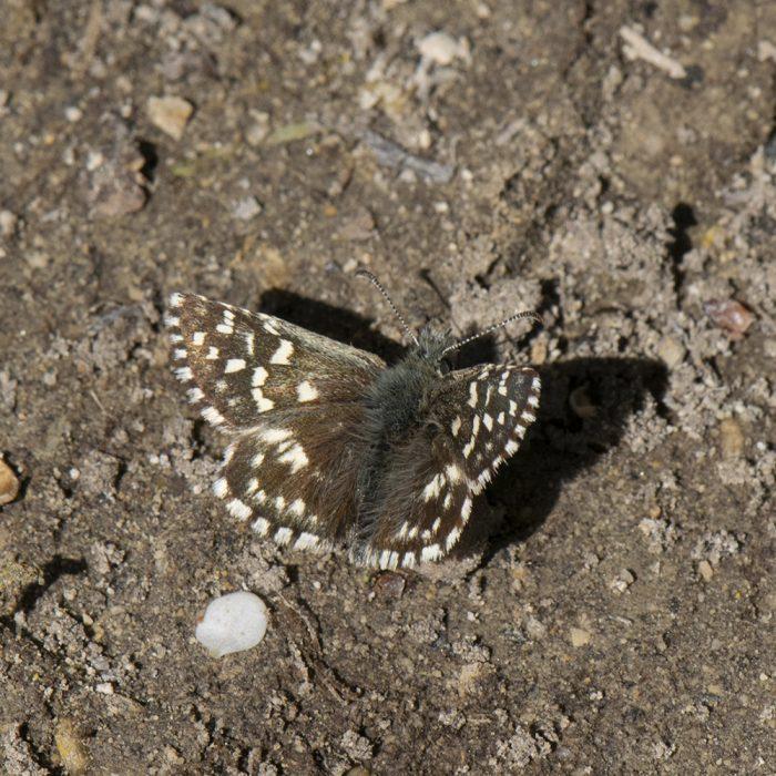 Kleiner Würfel-Dickkopffalter (Pyrgus malvae) auf Boden