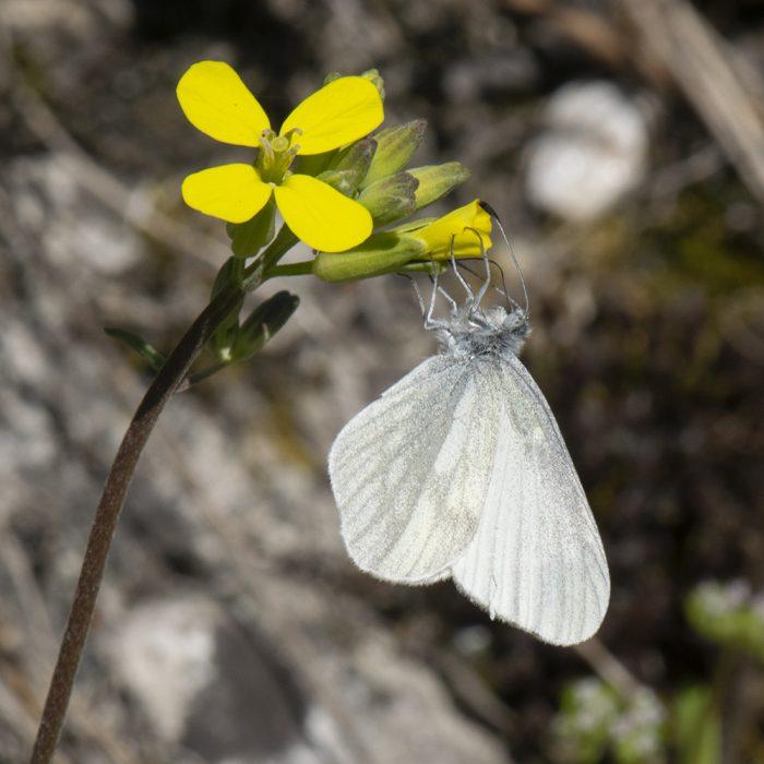 Tintenfleck-Weißling (Leptidea juvernica/sinapis) auf Wildblume