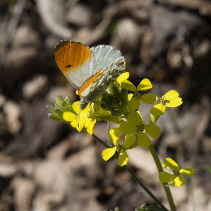 Aurorafalter (Anthocharis cardamines) auf Wildblume