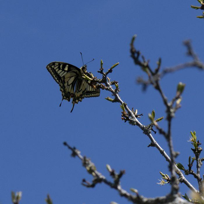 Schwalbenschwanz (Papilio machaon) auf Schlehe