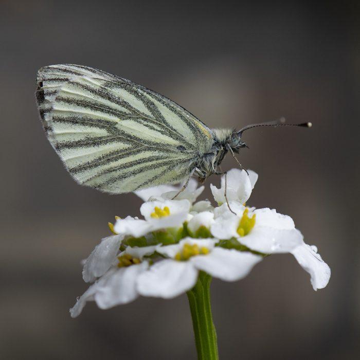 Grünader-Weißling (Pieris napi) auf Schleifenblume
