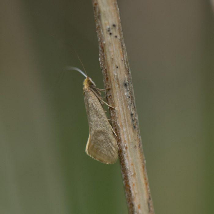 Frühlings-Langhornmotte (Nematopogon swammerdamella) auf Brennnessel