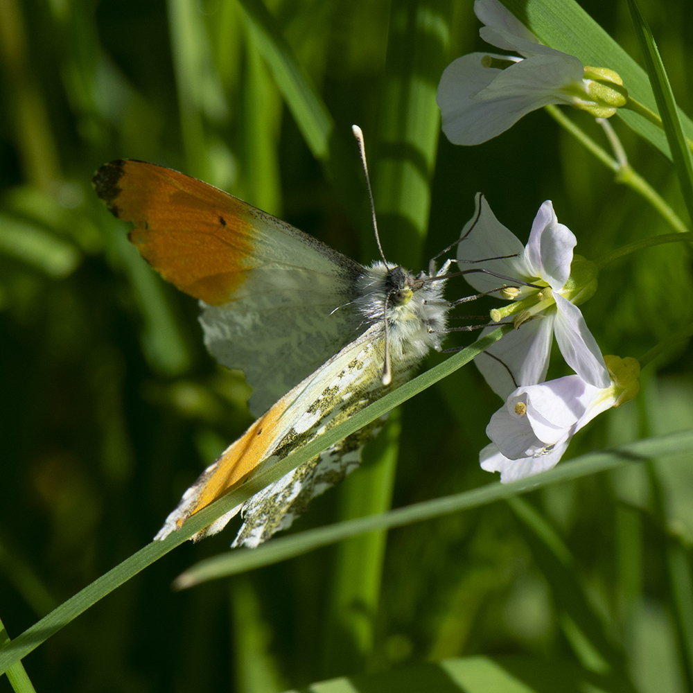Aurorafalter (Anthocharis cardamines) auf Wiesenschaumkraut