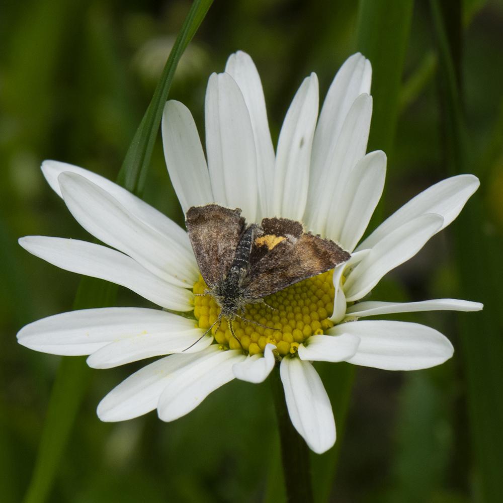 Hornkraut-Tageulchen (Panemeria tenebrata) auf Margerite
