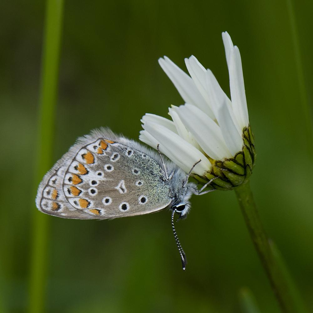 Hauhechel-Bläuling (Polyommatus icarus) auf Margerite