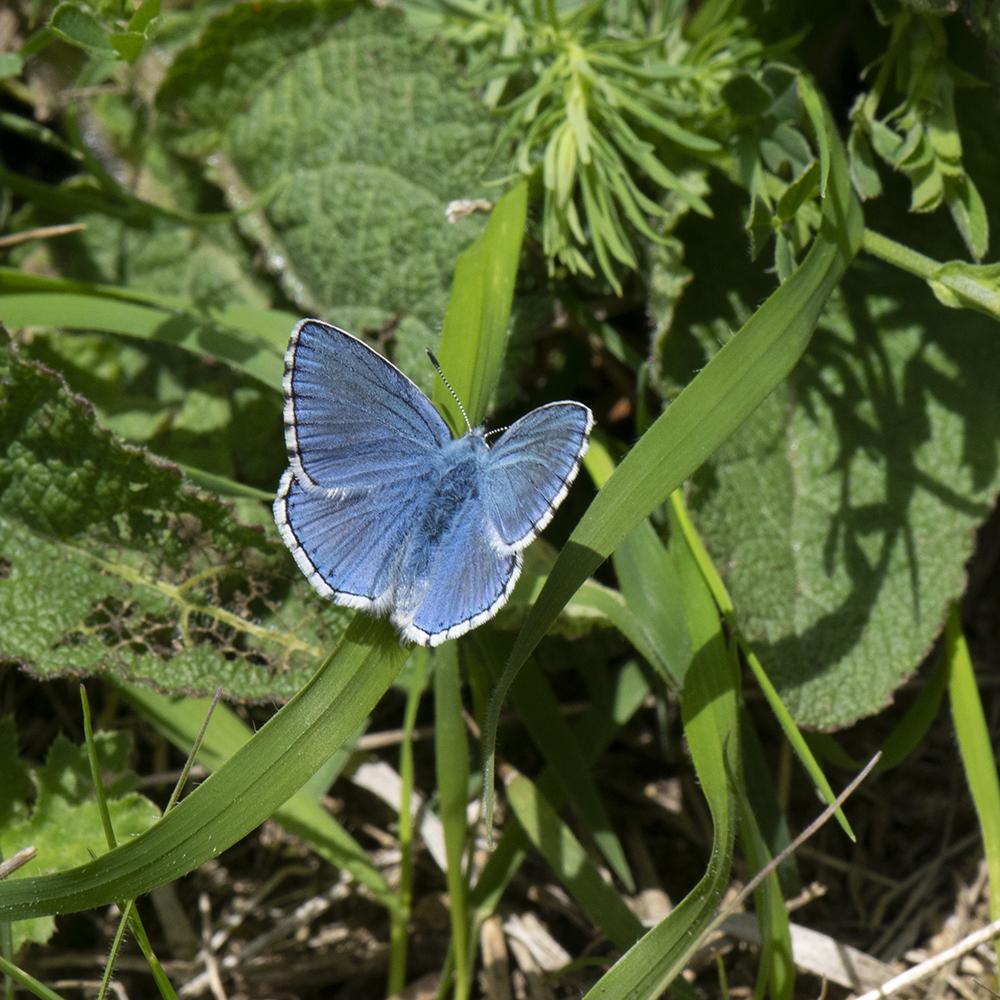 Himmelblauer Bläuling (Lysandra bellargus) auf Wiese