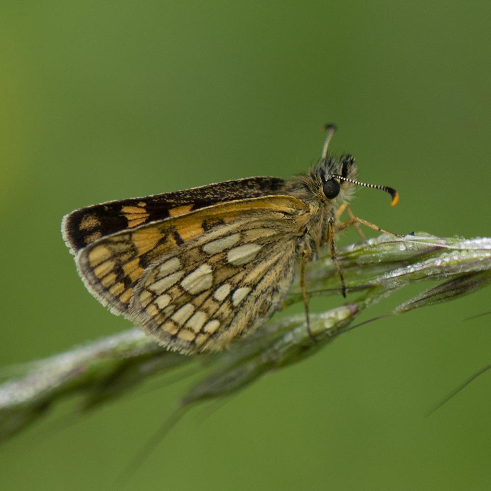 Gelbwürfeliger Dickkopffalter (Carterocephalus palaemon) auf Gras