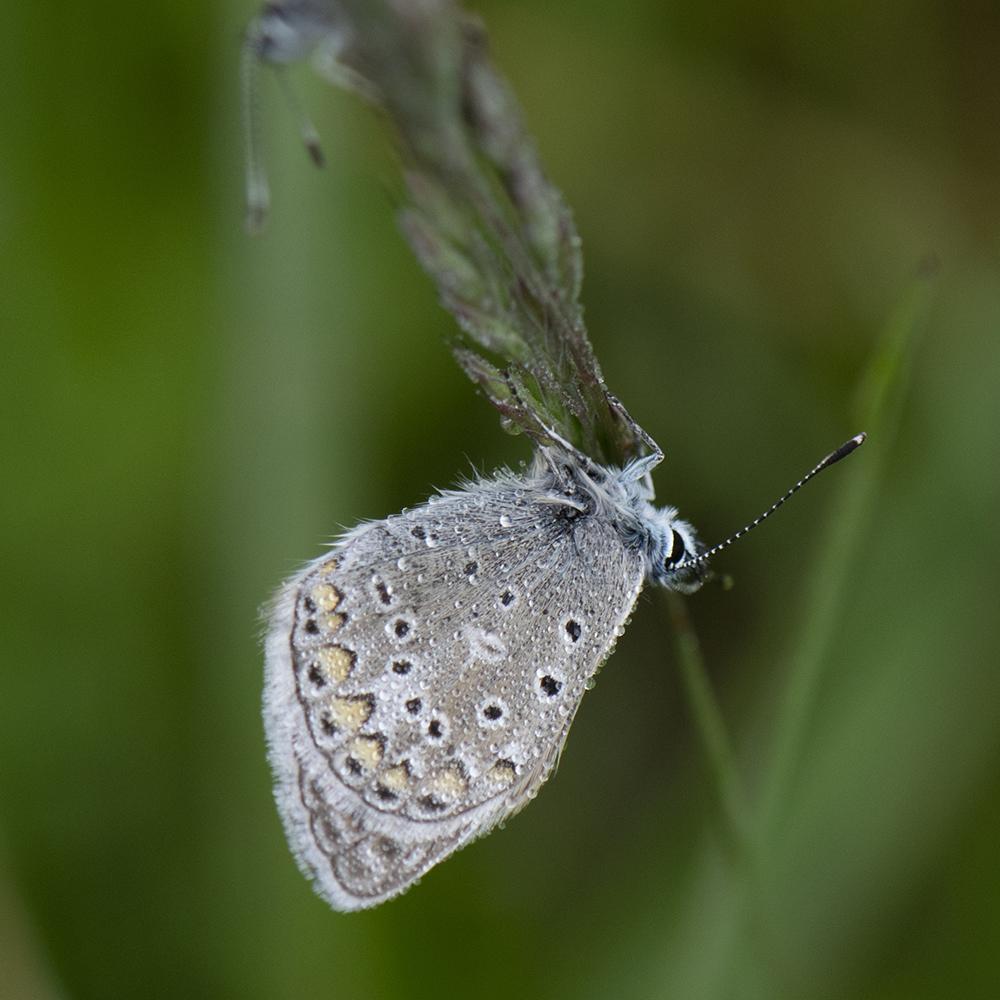 Hauhechel-Bläuling (Polyommatus icarus) auf Gras