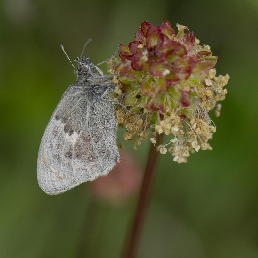 Kleines Wiesenvögelchen (Coenonympha pamphilus) auf Kleinem Wiesenknopf