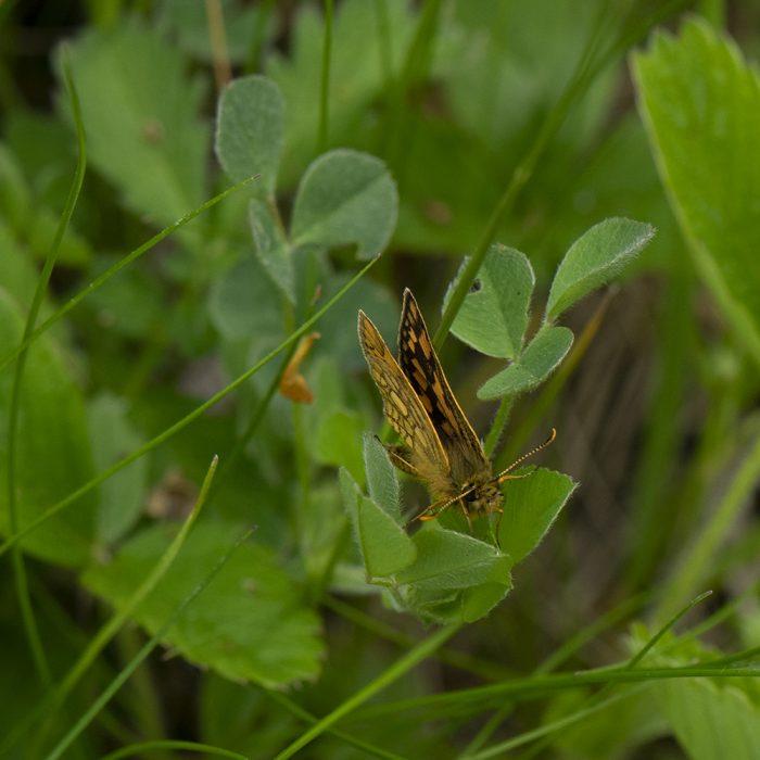 Gelbwürfeliger Dickkopffalter (Carterocephalus palaemon) auf Wiese