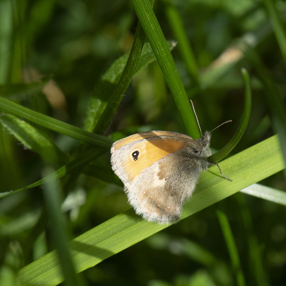 Kleines Wiesenvögelchen (Coenonympha pamphilus) auf Gras